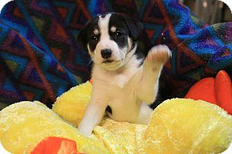Husky/Labrador Retriever Mix Puppy for adoption in Plainfield, Connecticut - DANCER