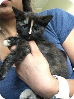 Domestic Shorthair Kitten for adoption in Anaheim Hills, California - Anastasia