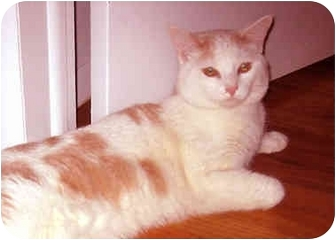 Turkish Van Cat for adoption in New York, New York - Wendle