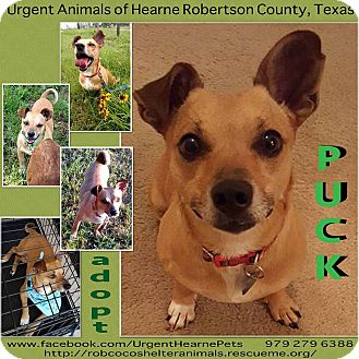 Terrier (Unknown Type, Small) Mix Dog for adoption in Hearne, Texas - Puck