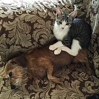 Domestic Shorthair Kitten for adoption in Yuba City, California - Ivy