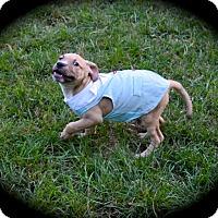 Adopt A Pet :: Marc Antony - Ijamsville, MD