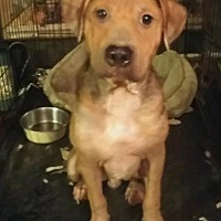 Labrador Retriever/Shar Pei Mix Dog for adoption in Houston, Texas - Preston