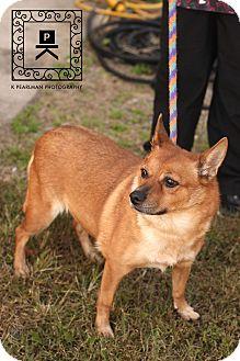 Corgi Mix Dog for adoption in Staunton, Virginia - Foxy