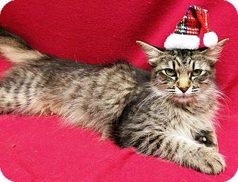 Domestic Mediumhair Cat for adoption in Watauga, Texas - Rose