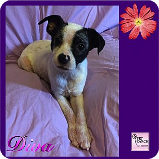 Terrier (Unknown Type, Small) Mix Puppy for adoption in Washington, Pennsylvania - Diva