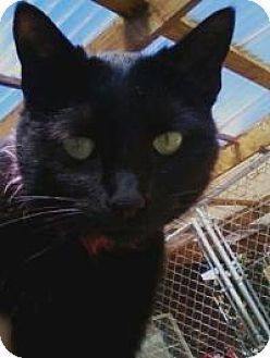 Domestic Shorthair Cat for adoption in Calimesa, California - Sparky