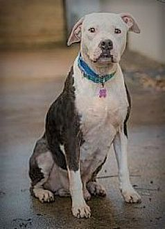 American Staffordshire Terrier Dog for adoption in Allentown, Pennsylvania - Cinco