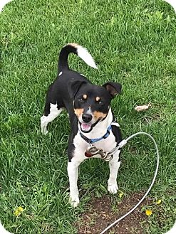 Jack Russell Terrier/Fox Terrier (Smooth) Mix Dog for adoption in Union Grove, Wisconsin - Bandit