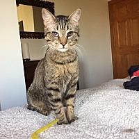 Adopt A Pet :: Sherlock Holmes - charlottesville, VA