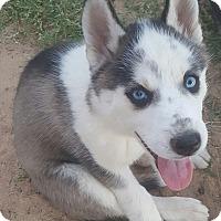 Adopt A Pet :: Peeca - Apple valley, CA
