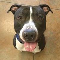 Adopt A Pet :: Jersey - Independence, MO