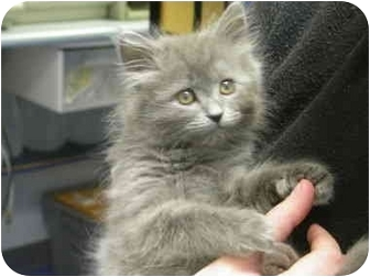 Domestic Mediumhair Kitten for adoption in Saanichton, British Columbia - Ashes