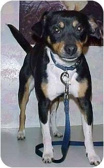 Terrier (Unknown Type, Medium) Mix Dog for adoption in North Judson, Indiana - Bert