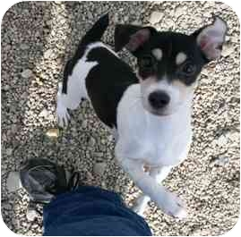 Jack Russell Terrier Mix Puppy for adoption in Mazon, Illinois - Martini