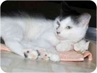 Domestic Shorthair Cat for adoption in Brooklyn, New York - KitKat