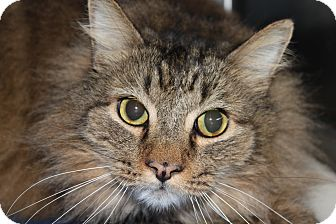 Domestic Longhair Cat for adoption in HARRISONVILLE, Missouri - Tanner