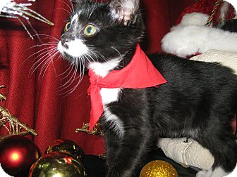 Domestic Shorthair Kitten for adoption in Clearfield, Utah - Puma