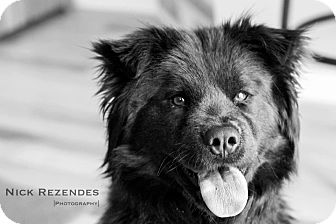 Chow Chow Mix Dog for adoption in Wethersfield, Connecticut - Charlotte