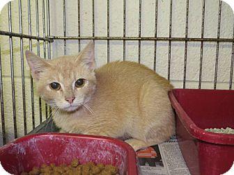 Domestic Shorthair Kitten for adoption in Henderson, North Carolina - Tangie