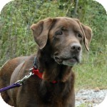 Labrador Retriever Mix Dog for adoption in Cincinnati, Ohio - Sadie