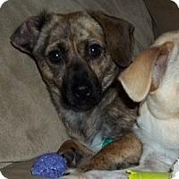 Adopt A Pet :: Mokie - Hamilton, ON