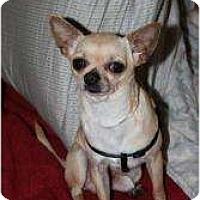 Adopt A Pet :: Chico - Westbrook, CT