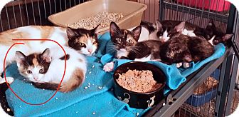 Domestic Shorthair Kitten for adoption in Lawrenceville, Georgia - Calyx