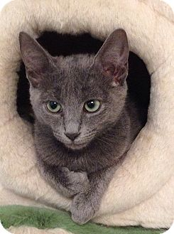 Russian Blue Kitten for adoption in Tampa, Florida - Mooshoo