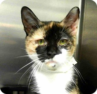 Calico Cat for adoption in Tinton Falls, New Jersey - Momma Joy