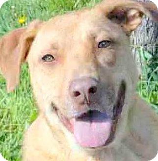 Labrador Retriever Mix Dog for adoption in Wakefield, Rhode Island - PHEOBE(A SAD SAD STORY!!
