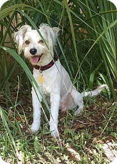Terrier (Unknown Type, Small)/Poodle (Standard) Mix Dog for adoption in Ruskin, Florida - Trevor