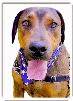 Rhodesian Ridgeback/German Shepherd Dog Mix Dog for adoption in Sacramento, California - Duke pending