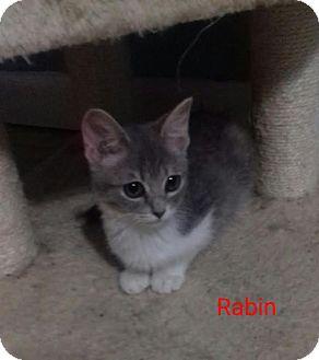 Domestic Shorthair Kitten for adoption in McDonough, Georgia - Rabin
