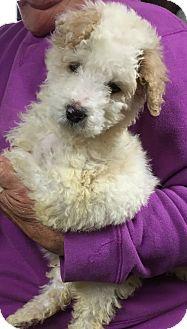 Poodle (Miniature) Mix Puppy for adoption in Powder Springs, Georgia - Tobias