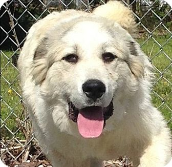 Great Pyrenees Puppy for adoption in Allentown, Pennsylvania - Higgins