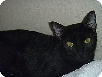 Domestic Shorthair Cat for adoption in Hamburg, New York - Mae