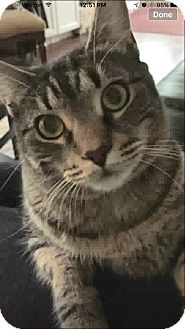 Domestic Shorthair Cat for adoption in Wantagh, New York - Colby
