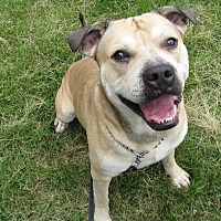 American Bulldog Mix Dog for adoption in Dickson, Tennessee - Diesel