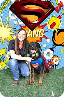 "Rottweiler Dog for adoption in Gilbert, Arizona - Gummy ""Bear"""
