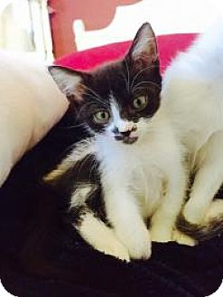 Domestic Shorthair Kitten for adoption in Mission Viejo, California - Raven