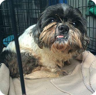 Shih Tzu Dog for adoption in Oak Ridge, New Jersey - Queenie