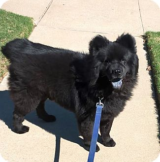 Chow Chow Dog for adoption in Weatherford, Texas - Brodie
