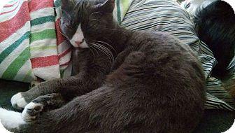 Domestic Shorthair Cat for adoption in Locust, North Carolina - Mango