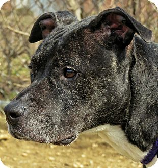 Pit Bull Terrier Mix Dog for adoption in West Babylon, New York - Sexy