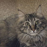 Adopt A Pet :: Autumn - Fountain Hills, AZ