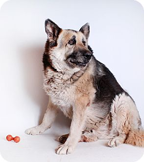 German Shepherd Dog Mix Dog for adoption in Bisbee, Arizona - Hank
