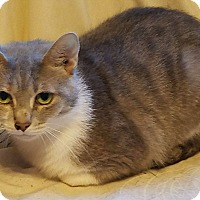 Domestic Shorthair Cat for adoption in South Bend, Indiana - Ginger