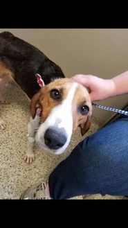 Hound (Unknown Type) Mix Dog for adoption in Chesterfield, Missouri - Hope
