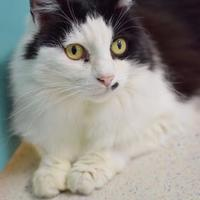 Domestic Mediumhair/Domestic Shorthair Mix Cat for adoption in Santa Barbara, California - Sweetie Avant